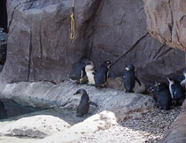 pingwinki małe /Little Blue Penguin/