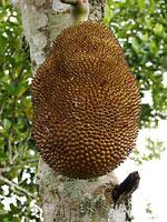 """""""Niewielki"""" jackfruit"""