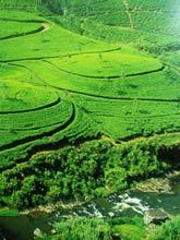 plantacja herbaty w Chinach