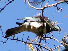 ptak kereru