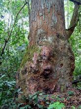 drzewo kadzidłowe