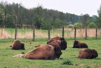 bizony w Kurozwękach