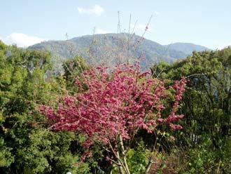 japońskie drzewko